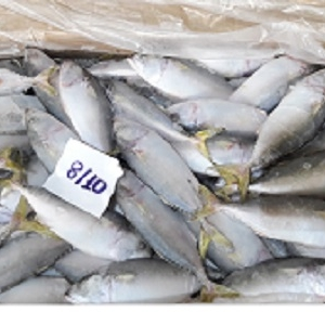 FROZEN SHORT BODIED MACKEREL